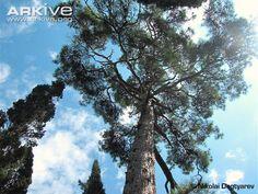 Looking up at Pinus brutia pityusa