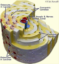 This photo shows a model of an osteon. It points out the blood vessels and shows the different layers.