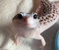 """""""O GRITO DO BICHO"""": Conheçam a lagartixa-leopardo e o segredo de sua a..."""