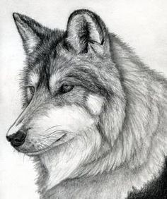 how to draw a wolf head, mexican wolf step 16
