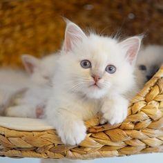Howdy Snickers! #minivaniljer #minivaniljerna2016 #birma #birman #breeder #catsofinstagram #chokladochvanilj #kitten #pinkalicious #welovecats #we_love_cats