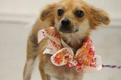 NAME: Lucy  ANIMAL ID: 29853958  BREED: Chi mix  SEX: female  EST. AGE: 1 yr  Est Weight: 6 lbs  Health: heartworm test pending  Temperament: dog friendly, people friendly.  ADDITIONAL INFO: RESCUE PULL FEE: $69  Intake date: 10/6  Available: Now
