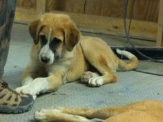 NATALIE | Nonprofits - YouCaring.com Get this sweet puppy from Afghanistan to San Diego to her Soldier that loves her.