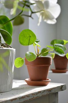 le pilea appel aussi plante monnaie chinoise cause de ses feuilles en forme de bulles. Black Bedroom Furniture Sets. Home Design Ideas