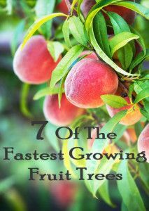 7 of the fastest growing fruit trees. It would be nice to have a fruit tree in our backyard to cut down on buying fruit at the grocery store.:
