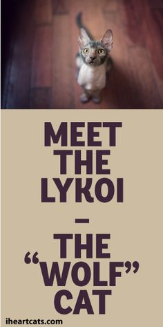 "Meet The Lykoi - The ""Wolf"" Cat!"