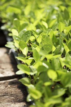 Sprouting Herbs | Gaia Herbs Farm | Brevard, NC