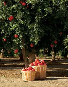I would LOVE this in my backyard! I grew up on a farm that had a fruit orchard (mainly apples) and seeing an apple tree like this with big juicy red apples on it, has always brought about much excitement for me. Fruit Trees, Trees To Plant, Ed Wallpaper, Pomegranate Art, Apple Orchard, Exotic Fruit, Fruit Garden, Apple Tree, Succulents Garden