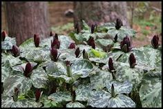 Cultivating Woodland Herbs: Planning a Medicinal Forest Garden Forest Garden, Lawn And Garden, Garden Gate, Shade Garden, Garden Plants, Herb Gardening, Types Of Herbs, Herb Seeds, Gardening