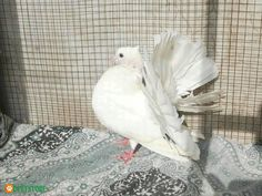 Fancy Pigeons Single Pieces / Pairs Available. Feel free to buy Fancy Pigeons Single Pieces / Pairs Available online from trusted sellers in Pakistan on pet classifieds. Birds For Sale, Buy Birds, Kinds Of Birds, Single Piece, Pictures Of You, Pigeon, Fancy, Pairs, Things To Sell