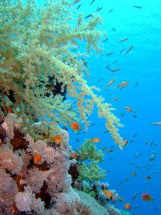 Coral reef, Red Sea. Beneath The Sea, Under The Sea, Coral Garden, Sea Diving, Life Aquatic, Underwater Life, Ocean Creatures, Red Sea, Sea World