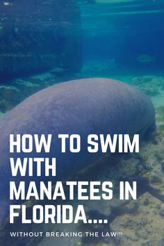 A complete guide of when, where and how to swim with manatees in Crystal River Florida! Is it illegal to touch a manatee? Travel Usa, Travel Tips, Travel Ideas, Cape San Blas Florida, Saltwater Tank, Saltwater Aquarium, Swimming With Manatees, Crystal River Florida, Manatee Florida