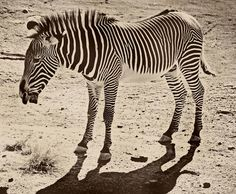 I'm really obsessed with Zebra prints/photos right now.