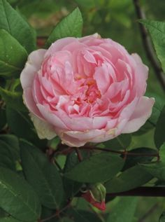'Mortimer Sackler' |  Shrub.  English Rose Collection. Bred by David C. H. Austin (United Kingdom, 2002)