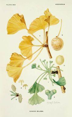ginkgo pollination - Google Search