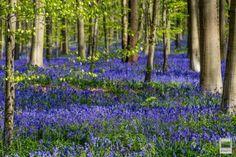 Hallerbos, la foresta di sequoie giganti che si tinge di blu (FOTO)