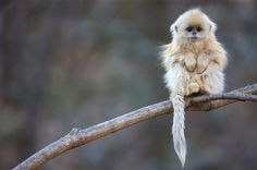 China's snub-nosed monkey.  I want to snuggle with it.