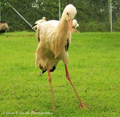 A dancing Stork