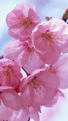 pink Cherry blossoms up close Cherry Blossom Tree, Blossom Trees, Cherry Blooms, Flower Symbol, Blooming Trees, Flower Phone Wallpaper, Spring Blossom, Flower Aesthetic, Pretty Wallpapers
