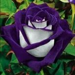 how to grow plants Purple white rose flower heart white rose,flower roses seeds, roses from seeds,planting roses,growing roses from seeds White Rose Flower, Beautiful Rose Flowers, Green Rose, Amazing Flowers, White Roses, Unique Roses, Rare Roses, Rare Flowers, Exotic Flowers