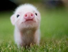 My cousin has one of these little cuties! Teacup pigs are so adorable Cute Baby Animals, Animals And Pets, Funny Animals, Animals Images, Farm Animals, Pet Pigs, Baby Pigs, Pot Belly Pigs, Teacup Pigs
