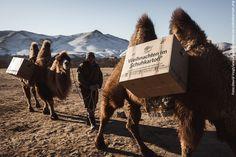 Schuhkartons auf den Rücken der Kamele.
