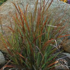 Panicum virgatum 'Cheyenne Sky' Switchgrass: northeast corner of firepit