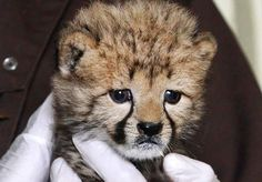 One month old Cheetah