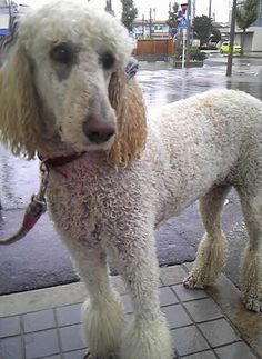 poodle in the rain...looks like Fairfax after the pool....