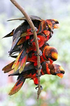 Dusky-Orange Lories, found in Indonesia & Papua New Guinea.  (photo by halex)