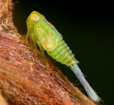 Cicadellidae Leafhopper Nymph