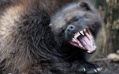 A wolverine is pictured during its first public appearance at the Animal Park of Sainte-Croix in Rhodes, eastern France