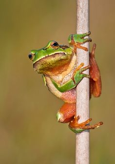 Frog (rana de San Antonio) @ Xuño lagoon, Galicia. (Spain, 2011)