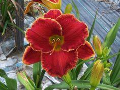 Daylily Plants for Sale