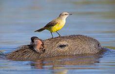Why Do Animals Like Capybaras So Much? (18+ Pics)