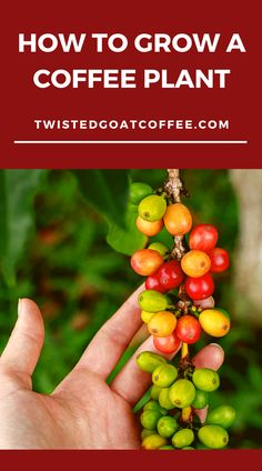 """Most people like coffee - whether for the flavor, the energy boost, or both. Some people far surpass """"liking"""" coffee, however, and are much more serious about their dedication to the drink. For some, this means going so far as to grow their own coffee plant! It's not the most common practice, however, so learning how to grow a coffee plant is quite the process. Visit the link to learn more. how to grow a coffee plant 