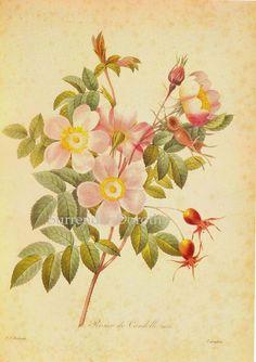 Pierre-Joseph Redouté 's illustration