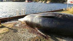 O maior predador dos mares e oceanos não é o tubarão branco, nem a orca assassina. Tão pouco o ser humano. Pelo menos não de forma direta. Agora mesmo, em 2017, não há nada que mate mais a vida marinha do que sacolas plásticas.