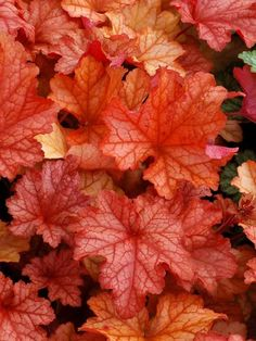 Make a statement in your garden with the dazzling foliage color, texture and shapes Heuchera perennials provide. Shop for your plants from Bluestone Perennials. Hardy Perennials, Flowers Perennials, Garden Shrubs, Shade Garden, Garden Bed, White Flowers, Beautiful Flowers, Coral Bells Heuchera, Bell Gardens