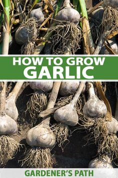 Garlic is one of the best loved and most often used kitchen ingredients. Widely appreciated for its many health benefits, it's a workhorse in the garden too, acting as a natural pesticide and keeping other plants healthy. Keep reading to learn how to grow garlic in your garden. #garlic #growyourown #gardenerspath Diy Herb Garden, Herb Garden Design, Cottage Garden Design, Edible Garden, Garden Plants, Garden Totems, Cottage Gardens, Shade Garden, Gardening For Beginners