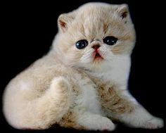 Exotic Shorthair Pet Cats Think 'Persian' without the long hair. That's the Exotic Shorthair. The first Exotic Shorthair cats were produc. Small Cat Breeds, Exotic Cat Breeds, Fluffy Cat Breeds, Exotic Cats, Gato Munchkin, Exotic Shorthair, American Shorthair, British Shorthair, Cute Kittens