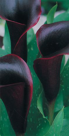Calla Lily 'Black Beauty' (Zantedeschia aethiopica) Calla Lillies, Calla Lily, Zantedeschia Aethiopica, Love Lily, My Flower, Flowers, Gladiolus, Begonia, Black Beauty