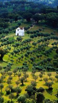 Olive Fields, Extremadura, Spain