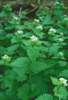 Garlic mustard is an invasive weed that incidentally tastes great. So, protect the environment and eat up.