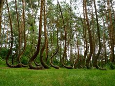 Poland's Mysterious Crooked Forest  https://www.google.se/blank.html