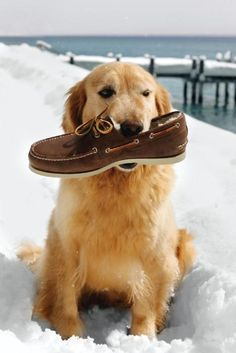 ...and THAT's why they're called retrievers! #golden #animals #dog #shoe #snow #beach