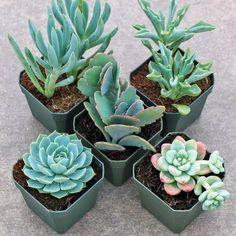 A selection of 5 soft and hardy succulents in cool shades of blue. Great for container gardens, indoor use, or weddings. Shop online. Free Shipping $75+