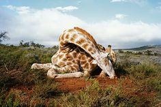 Giraffe a rischio