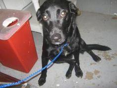 SWEETIE is an adoptable Labrador Retriever Dog in Thomasville, GA.  ...