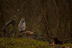 Long-eared owl / Sarvipöllö / トラフズク / Asio otus